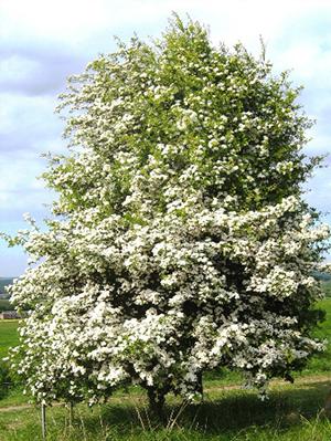 biancospino-albero